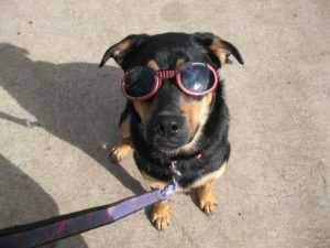 Clementine in Doggles